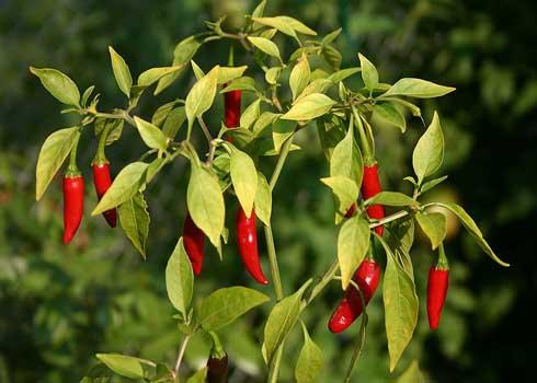 Cây ớt bị bệnh vàng lá và cách phòng trừ