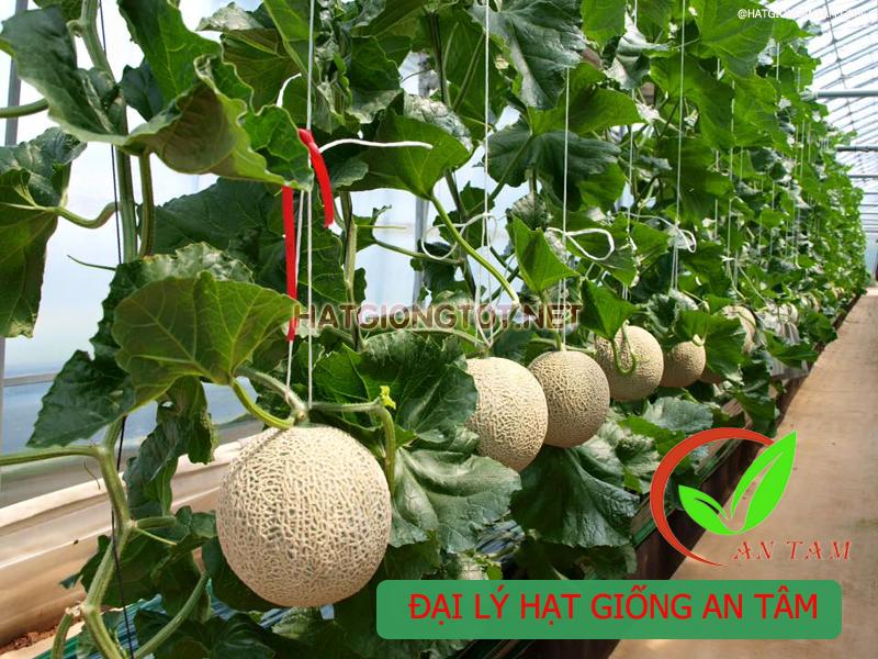 Mùa vụ trồng dưa lưới