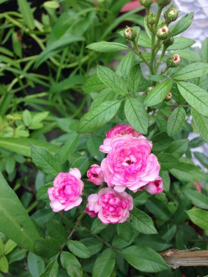Cách chăm sóc hoa hồng