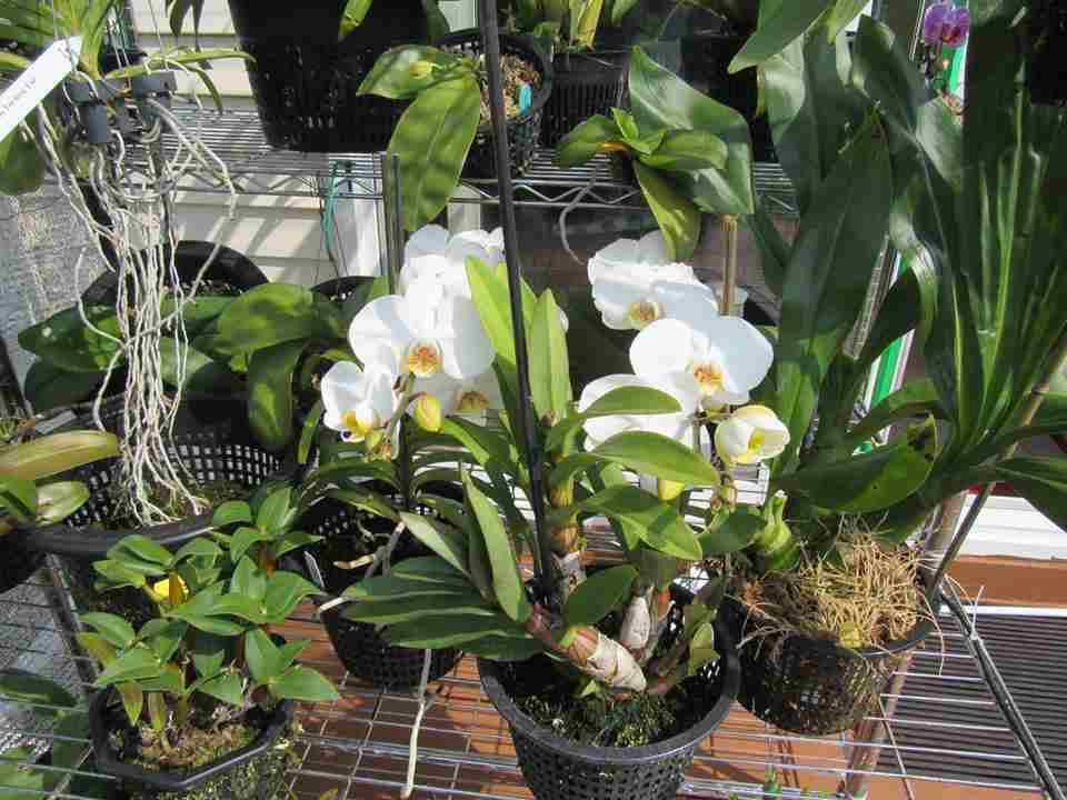 Cách trồng hoa lan trong chậu