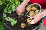 Kỹ thuật trồng khoai tây trong thùng xốp