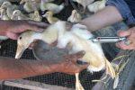 Bệnh ecoli ở Ngan Vịt triệu trứng và điều trị