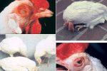 Bệnh newcastle ở gà cách phòng và điều trị hiệu quả