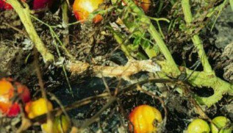Cà chua bị thối gốc, vệt tơ trắng vàng lá, chết cây?
