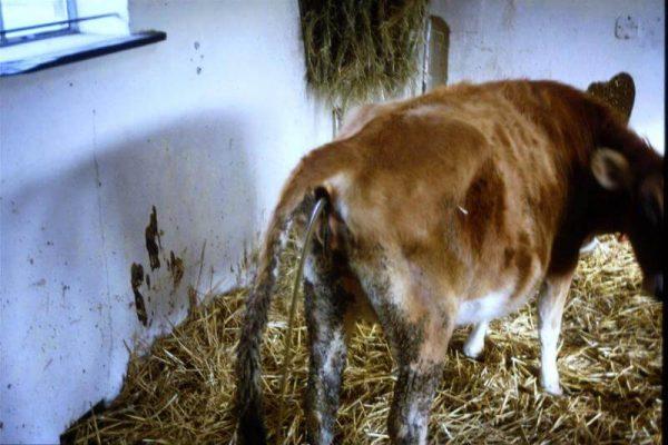 Cách điều trị bò bị tiêu chảy bỏ ăn làm sao hết?