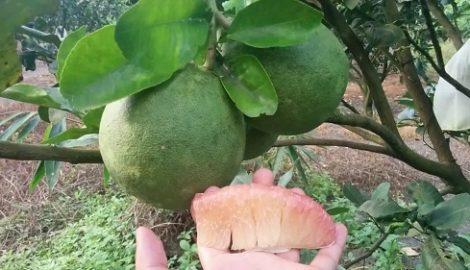 Cách trồng bưởi da xanh ruột hồng đúng cách cho quả ăn quanh năm không hết