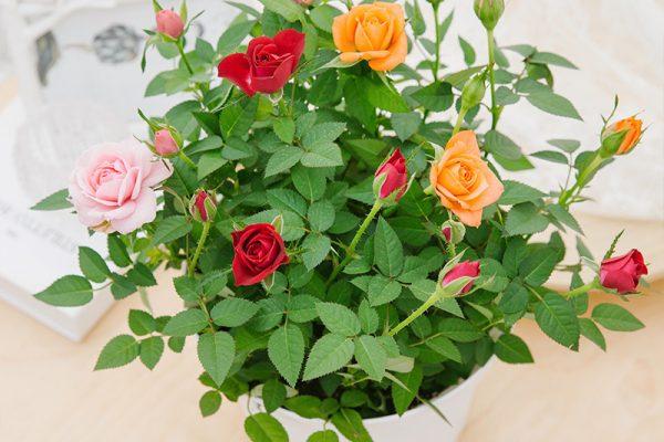 Cách chăm hoa hồng ra hoa quanh năm