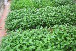Cách gieo rau muống từ hạt nảy mầm cao