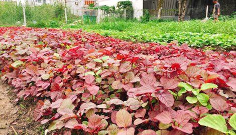 Cách gieo hạt giống rau dền đỏ