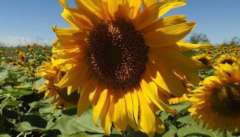 Cách thụ phấn cho hoa hướng dương lấy hạt, không bị hạt lép