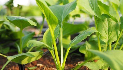 Cách trồng rau cải ngọt siêu dễ cả năm không lo thiếu rau ăn