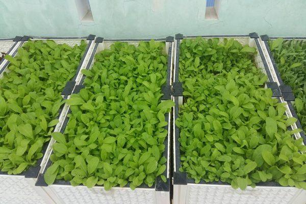 Cách trồng rau cải trong thùng xốp chuẩn nhất