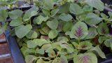 Cách trồng rau dền trong thùng xốp