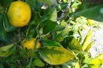 Khắc phục cây cam khi bị nấm gây hại tấn công
