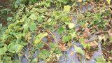Cây dưa lê bị vàng lá rồi chết chậm
