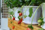 Cách trồng dâu tây trong chậu – cây tốt, quả sai