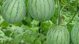 Dưa hấu trồng vào tháng mấy?