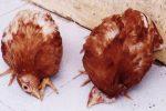 Cách chữa gà bị mắc bệnh niu cát xơn