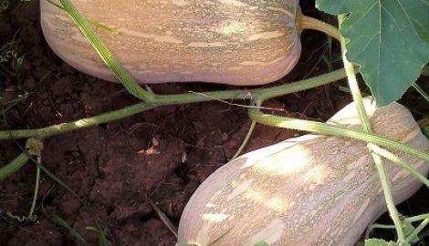 Hạt giống xác nhận là hạt giống gì?