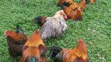 Lịch tiêm cho gà – tiêm vacxin phòng bệnh cho gà thả vườn và nuôi nhốt