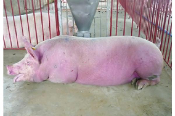 Lợn tiêu chảy phân đen, bỏ ăn, tai và thân bị tím?