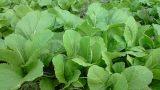 Cách trồng rau cải xanh thật nhanh, thật dễ