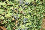 Trị bệnh héo xanh trên dưa lê đã tìm ra cách đặc trị