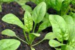 Bật mí bí quyết trồng cải bó xôi đơn giản và hiệu quả