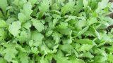 Cách trồng rau cải cúc cực dễ mà năng suất lại cao