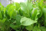 Trồng cải ngọt trong thùng xốp xanh tốt tại nhà