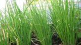 Tự tay trồng hành lá bằng hạt – cả nhà ăn chẳng hết